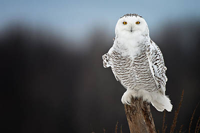 Snowy Owl Pictures 12 Poster by Owl Images