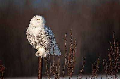 Snowy Owl Pictures 15 Poster by Owl Images