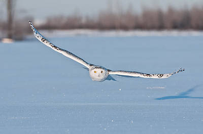 Snowy Owl Pictures 18 Poster by Owl Images