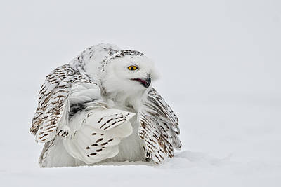 Snowy Owl Pictures 19 Poster by Owl Images