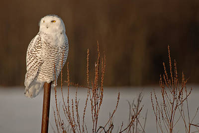 Snowy Owl Pictures 2 Poster by Owl Images