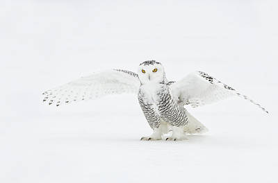 Snowy Owl Pictures 23 Poster by Owl Images