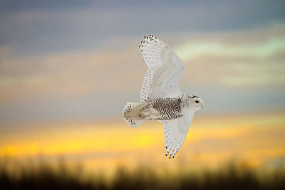 Snowy Owl Pictures 4 Poster by Owl Images