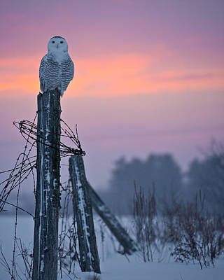 Snowy Owl Pictures 5 Poster by Owl Images