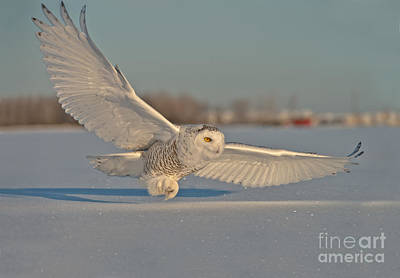 Snowy Owl Pictures 7 Poster by Michael Cummings