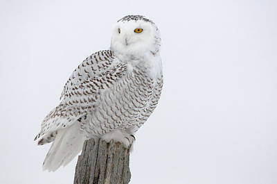 Snowy Owl Pictures 7 Poster by Owl Images