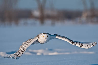 Snowy Owl Pictures 8 Poster by Owl Images