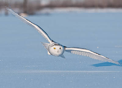 Snowy Owl Pictures 9 Poster by Owl Images