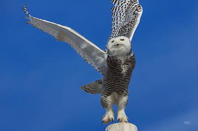 Snowy Owl Taking Flight Poster