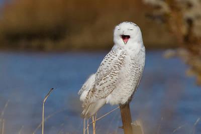 Snowy Owl Yawning Poster