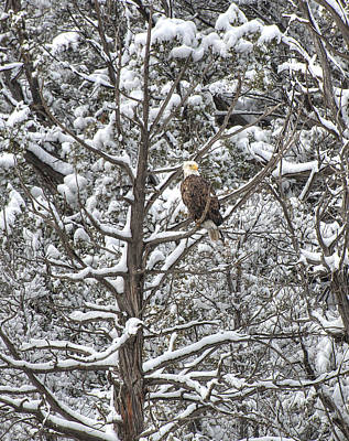 Poster featuring the photograph Snowy Perch Bald Eagle by Britt Runyon
