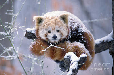 Snowy Red Or Lesser Panda Poster by Aaron Ferster