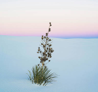 Soaptree Yucca Yucca Elata In Predawn Poster by Panoramic Images