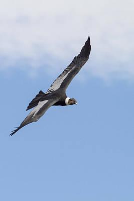 Soaring Condor Poster