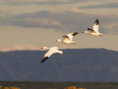 Soaring Geese Poster by Jean Noren