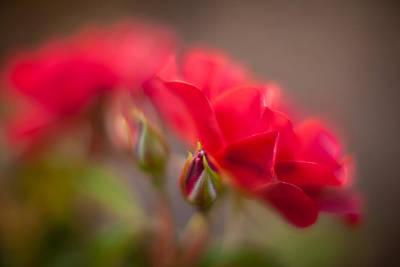 Soaring Red Rosebud Poster by Mike Reid