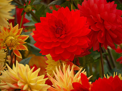 Poster featuring the photograph Sockeye And Upmost Dahlias by Jordan Blackstone