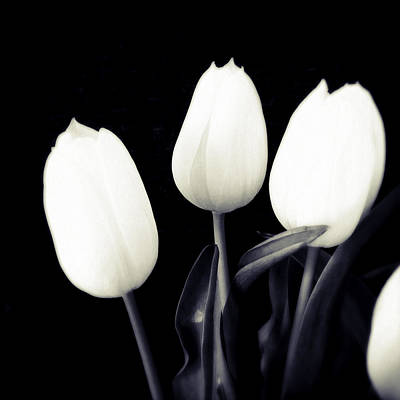 Soft And Bright White Tulips Black Background Poster