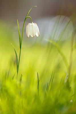 Soft Awakenings - White Chess Flower Poster