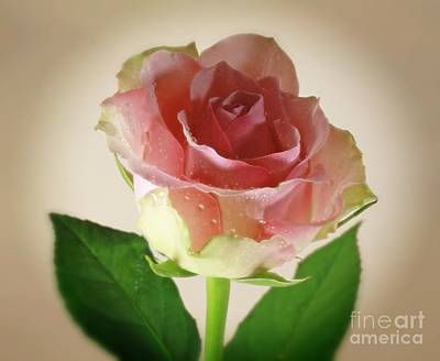 Soft Caress Raindrops On Roses Poster by Inspired Nature Photography Fine Art Photography