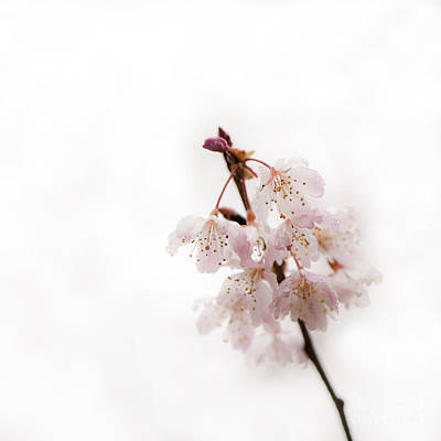 Soft Cherry Plum Poster by Anne Gilbert