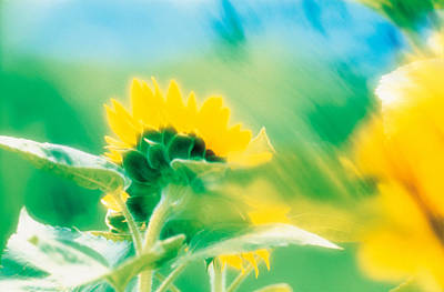 Soft Focus Of Yellow Flower, Blurred Poster