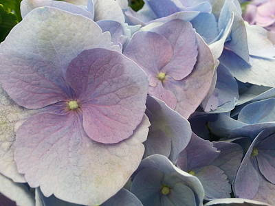 Poster featuring the photograph Soft Hydrangea  by Caryl J Bohn