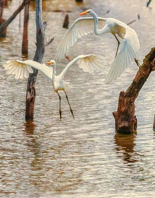 Soft Landing Two Egrets Poster