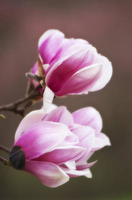 Soft Magnolia Blossoms Poster by Shelly Gunderson