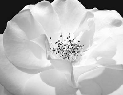 Soft Petal Rose In Black And White Poster by Jennie Marie Schell