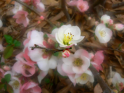 Soft Spring Quince Blossoms Poster by MM Anderson