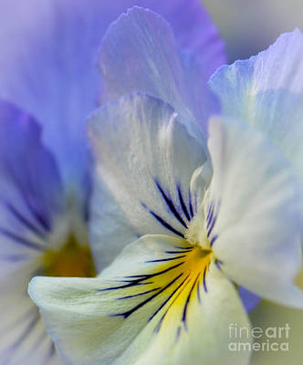 Soft White Pansy Poster by Amy Porter