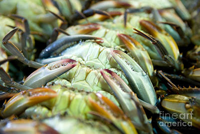 Softshell Blue Crabs On Their Backs Poster