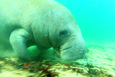 Solitary Manatee Swimming In The Weeki Poster