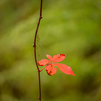 Solitary Red Leaf Poster