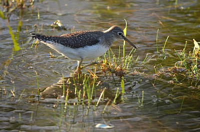 Solitary Sandpiper 2 Poster