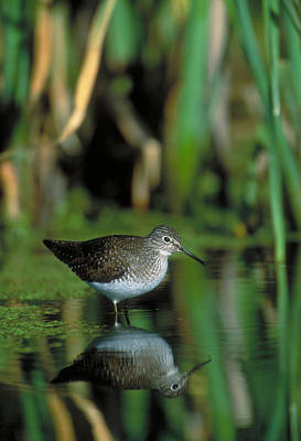 Solitary Sandpiper Poster by Paul J. Fusco