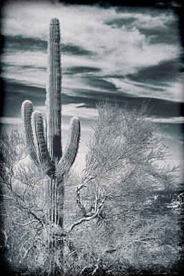 Solo Saguaro Poster by Kelley King
