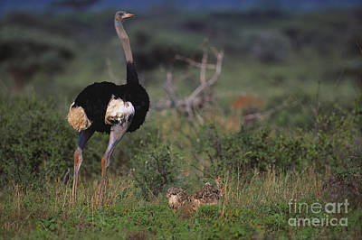 Somali Ostrich With Chicks Poster by Art Wolfe