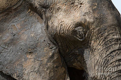 Poster featuring the photograph Some Elephants Prefer Mud by Chris Scroggins