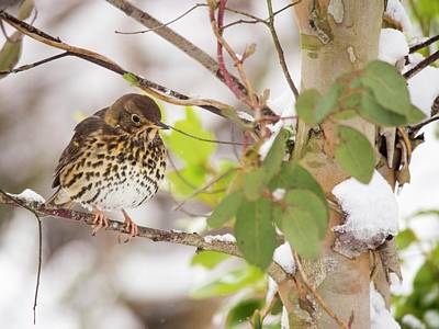 Song Thrush (turdus Philomelos) Poster by Ashley Cooper