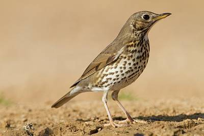 Song Thrush (turdus Philomelos) Poster