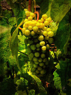 Sonoma Wine Grapes 001 Poster by Lance Vaughn