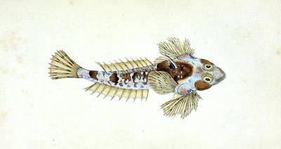 Sordit Dragonet, Callionymus Dracunculus Poster