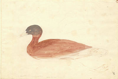 South African Shelduck Poster by Natural History Museum, London