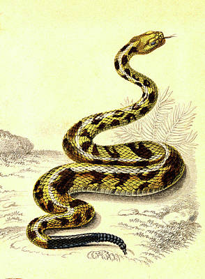 South American Rattlesnake Poster by Collection Abecasis