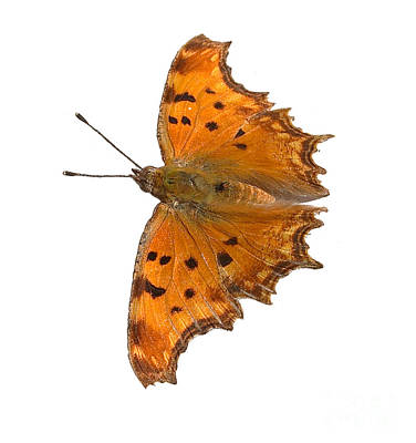 Southern Comma Butterfly Poster by Paul Cowan