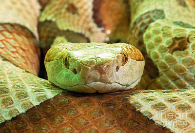 Southern Copperhead Poster