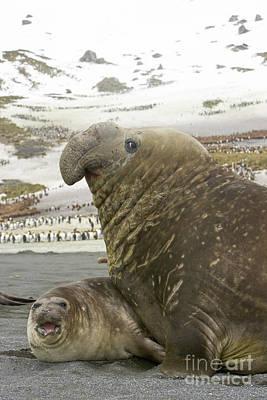 Southern Elephant Seal Couple  Poster by Yva Momatiuk John Eastcott
