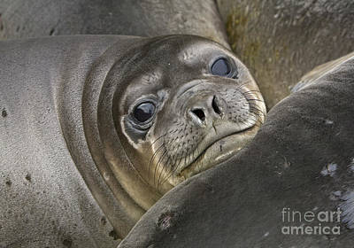 Southern Elephant Seal Pup South Poster by Yva Momatiuk and John Eastcott